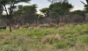 Stado młodych elandów