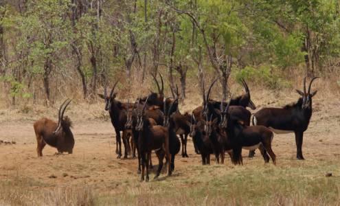 """Stado """"szabli"""" w obszarze koncesyjnym Hwange w Zimbabwe"""
