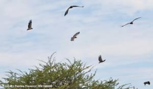 Pod skrzydłami sępów