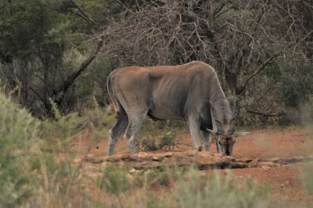 Wygłodzony eland przy wodopoju