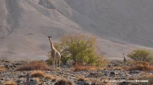 Górska odmiana żyrafy