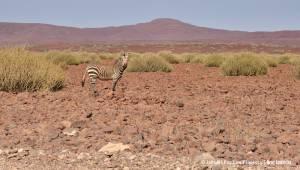 Zebra górska