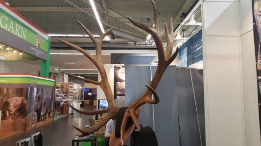 Zrzuty jelenia wapiti, które ważyły 26 kg!